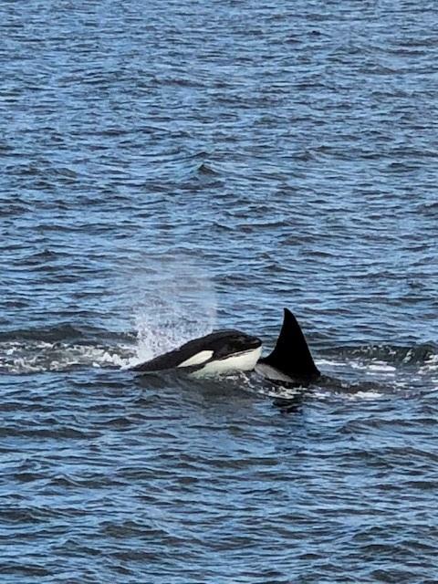 Orcas.jpg